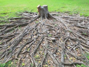 tree root removal lafayette